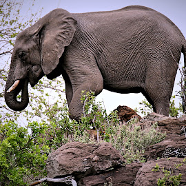 Ellie on top by Pieter J de Villiers - Animals Other