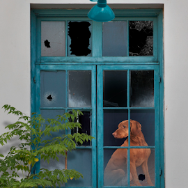 Looking out by Myra Brizendine Wilson - Animals - Dogs Portraits ( glass, canine, windows, dog,  )