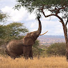 Elefante africano (African bush elephant)