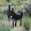 Norman donkey