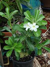 Photo: White Desert Rose