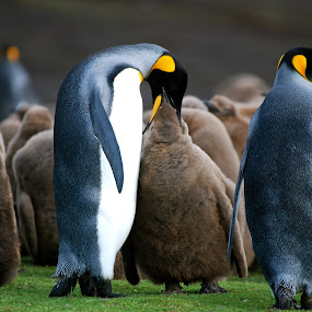 Falklands Penguins by Janet Rose - Novices Only Wildlife ( , sea creatures, underwater life, ocean life )