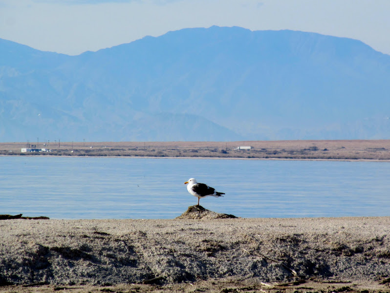Photo: California gull, the official bird of Utah