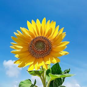 Welcome to Sun by Vijayanand Kandasamy - Flowers Single Flower ( single flower, sun flower, yellow, flower, sun,  )