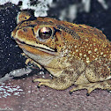 Asian Common Toad