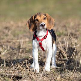 Beagle Pup Zinzi by Eveline van Beusichem - Animals - Dogs Puppies ( hunt, hund, beaglepup, beagle, puppy, hound, pup, dog, hond )