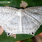 Spotted Swallowtail Wave Moth
