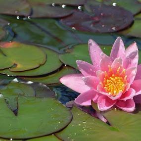 Pink Water Lily by Dawn Hoehn Hagler - Flowers Single Flower ( pink flower, san diego, water drops, aquatic flower, pink, pink water lily, water lily, water droplets, balboa park, flower,  )