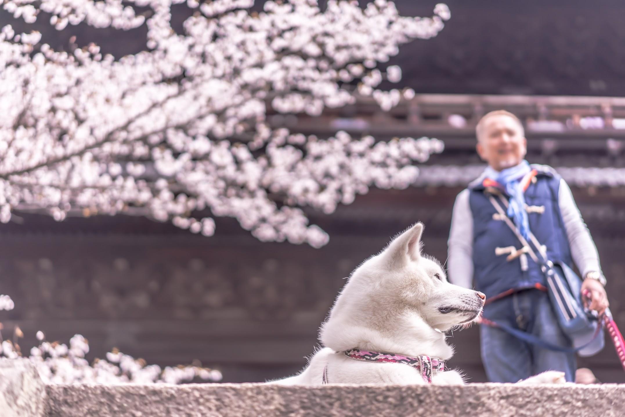 京都 桜 南禅寺4