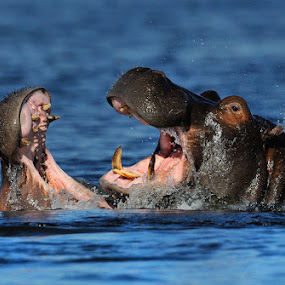 Hippo Fight by Jan Jacobs - Animals Other