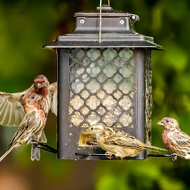 Socializing at the Bird Feeder by Ed Stines - Animals Birds ( nature, wild bird, avian, chickadee, inflight, feathers, wings, backyard birding, bird, backyard bird, garden, sparrow, bird feeder, finch )