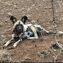 African Painted Dog or Wild Dog