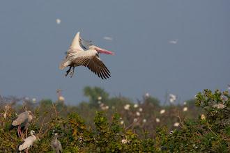 Photo: Pelican Flight