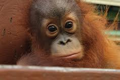 Meet The Orangutans (S1E5)