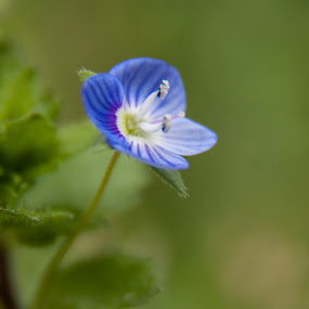 Veronica arvensis by Craig Pifer - Nature Up Close Flowers - 2011-2013 ( rock speedwell, plant, macro, corn speedwell, nature, veronica arvensis, speedwell, weed, backyard, flower, common speedwell, wall speedwell )