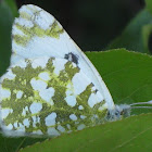 Green-striped White Butterfly
