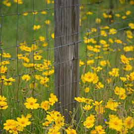 Yellow Flowers by Rhonda Kay - Flowers Flowers in the Wild (  )