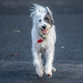 by Mike Crompton - Animals - Dogs Playing