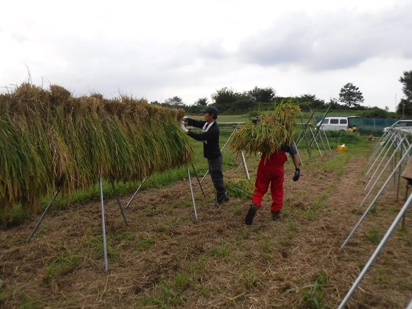 本日、小島農園初日のMさんと、10個の稲束を運ぶGさん。