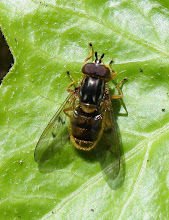 Photo: Ferdinandea cuprea  Diptera > Syrphidae