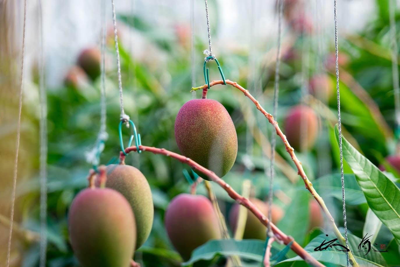 紐で吊るされた見事なマンゴー