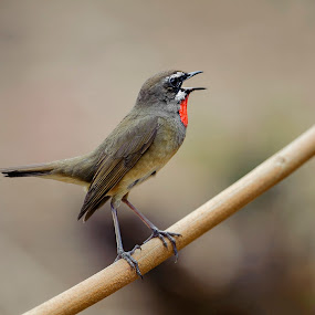 Siberian rubythroat (Luscinia calliope) by Steve Albano - Animals Birds ( siberian rubythroat,  )