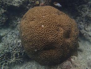 Photo: Brain Coral, Miniloc Island Resort reef, Palawan, Philippines.