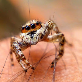 by AB Mehmud - Novices Only Macro ( macro, novices only, jumping spider,  )