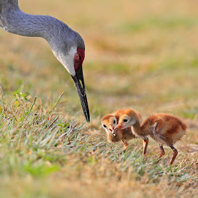 Teaching the Young by Lynn Kohut - Uncategorized All Uncategorized ( bird, national wildlife refuge, colt, florida, sandhill crane, spring )