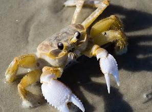 Photo: Atlantic Ghost Crab