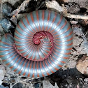 American giant millipede