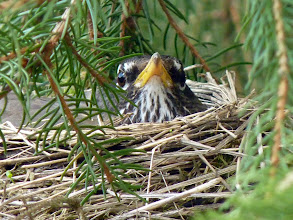 Photo: Female American Robin on it's nest.