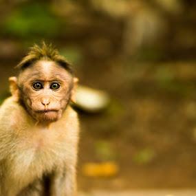 Monkey by Austin Neelankavil - Animals Other ( monkey,  )