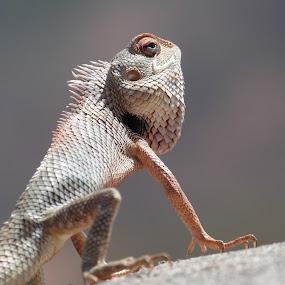 Chameleon Close Up by Vaibhav Shende - Animals Reptiles ( lizard, macro, details, chameleon close up, charmeleon )