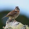 Chingolo (Rufous-collared sparrow)