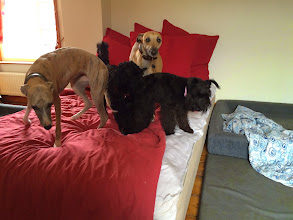 Photo: Flora Whippet, Monty Cockerpoo, Annabel Whippet and Maisie Mini Schnauzer