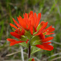 Scarlet Indian-paintbrush