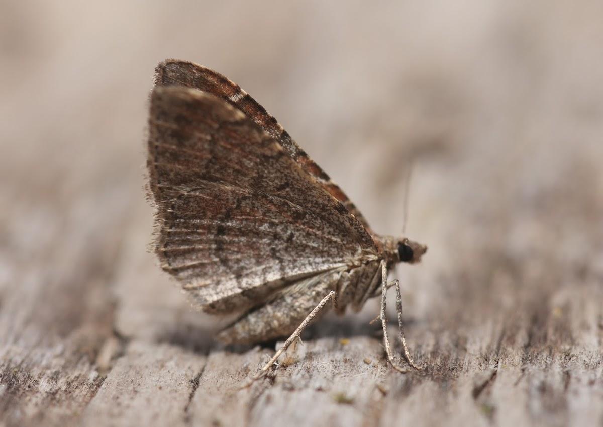 Gem Moth - 7414