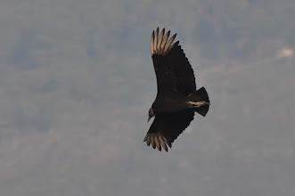 Photo: Black Vulture (Rabengeier); Xilitla, SLP