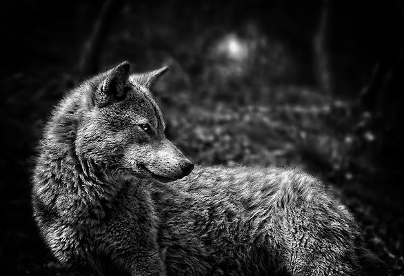 mai gridare al lupo di bi