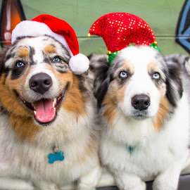 Yay! by Meaghan Browning - Animals - Dogs Portraits ( holiday, dogs, aussies, christmas, australian shepherd, brothers )