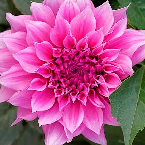 by Bharat Dudeja - Nature Up Close Flowers - 2011-2013 ( petals, pink, garden, dahlia, flower,  )