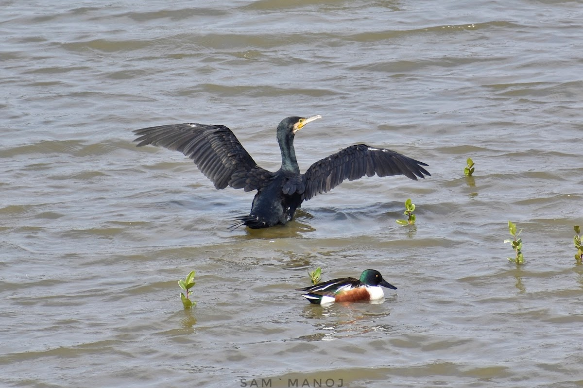 Great Cormorant N Northern Shoveler