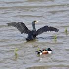 Great Cormorant N Northern Shoveler