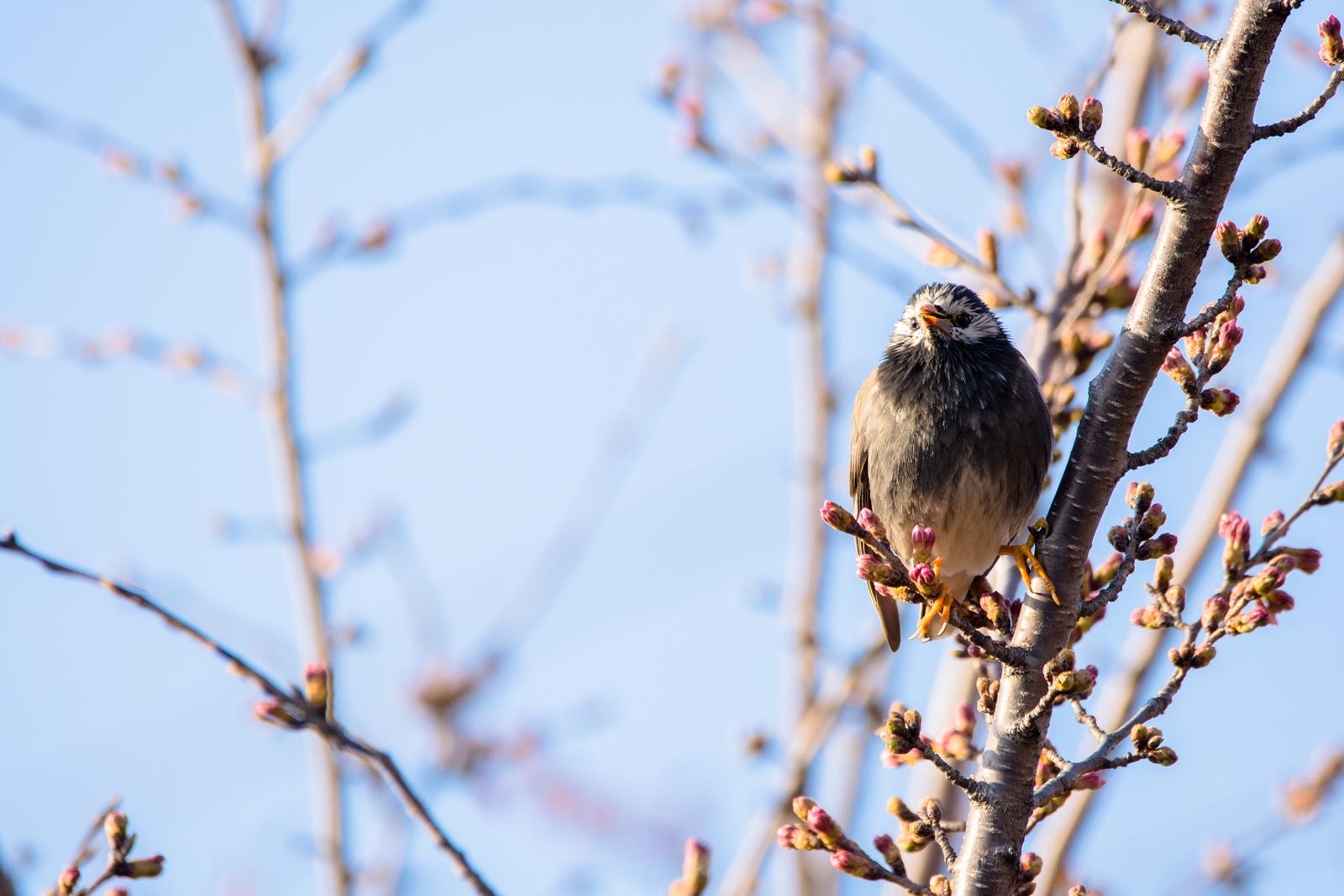 Photo: 「歌を届ける」 / Song for you.  一生懸命声にする 歓迎の歌 みんなが待ってるよ たくさんの想いが 春を咲かせる  White-cheeked Starling. (ムクドリ)  Nikon D7200 SIGMA 150-600mm F5-6.3 DG OS HSM Contemporary  #birdphotography #birds #kawaii #小鳥 #nikon #sigma #小鳥グラファー  ( http://takafumiooshio.com/archives/1407 )