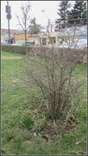 """Photo: Fizocarp roșu """"Diabolo"""" (Physocarpus opulifolius """"Diabolo"""") - din Parcul Teilor - 2018.03.26"""