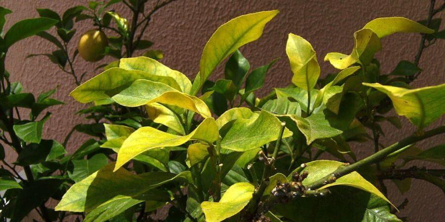 Lime Tree Leaves Chlorosis