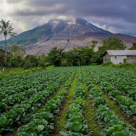 The Volcanoes and The Cabbage Fields by Kriswanto Ginting's - Landscapes Prairies, Meadows & Fields ( cabbage field,  )