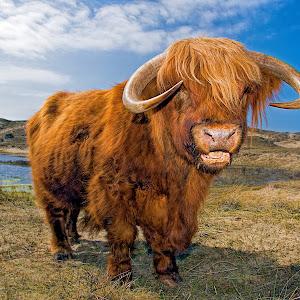Highland Cattle tc.jpg
