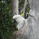 Sulphur-crested Cockatoo (nesting)